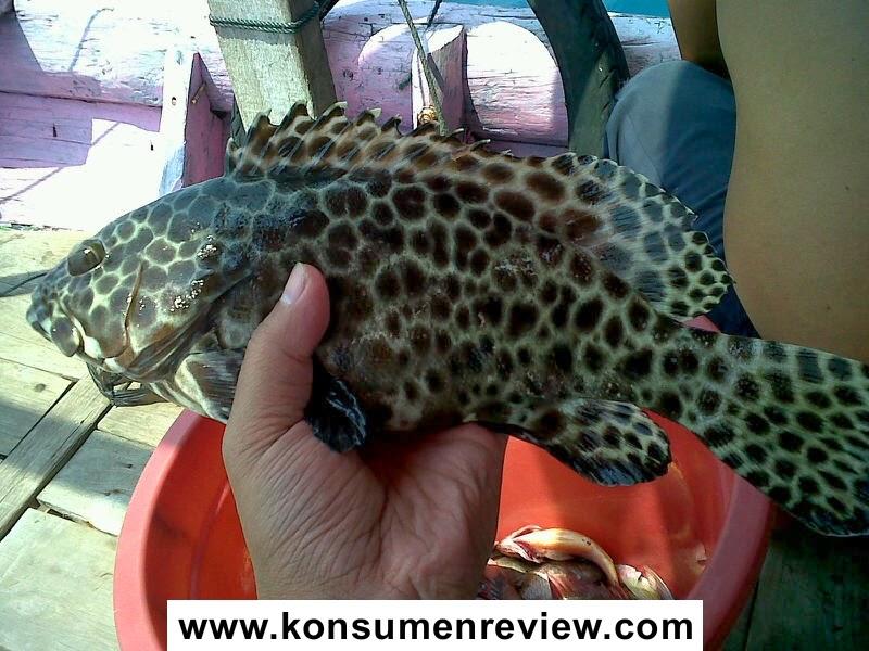 Ikan Kerapu Macan Epinephelus Fuscoguttatus Biota Dunia Perairan