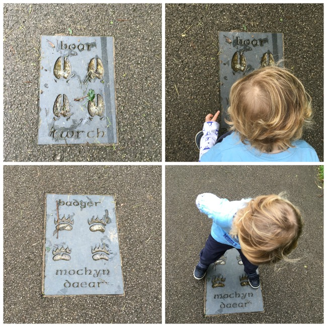 collage-of-footprints-boar-and-badger-and-toddler-looking-at-them-at-cwm-carn-forest