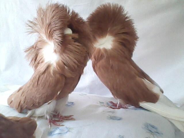jacobin pigeon - photo #36