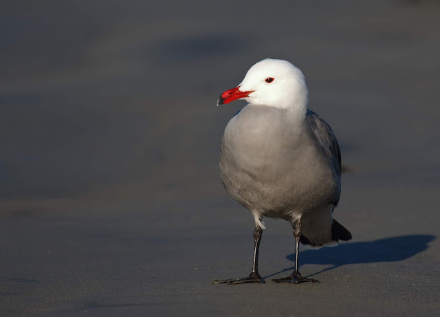 Heermann's Gull. Coronado, California.