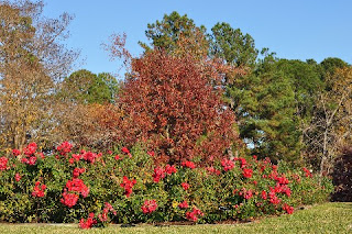 red roses in front of a tree in autumn colors