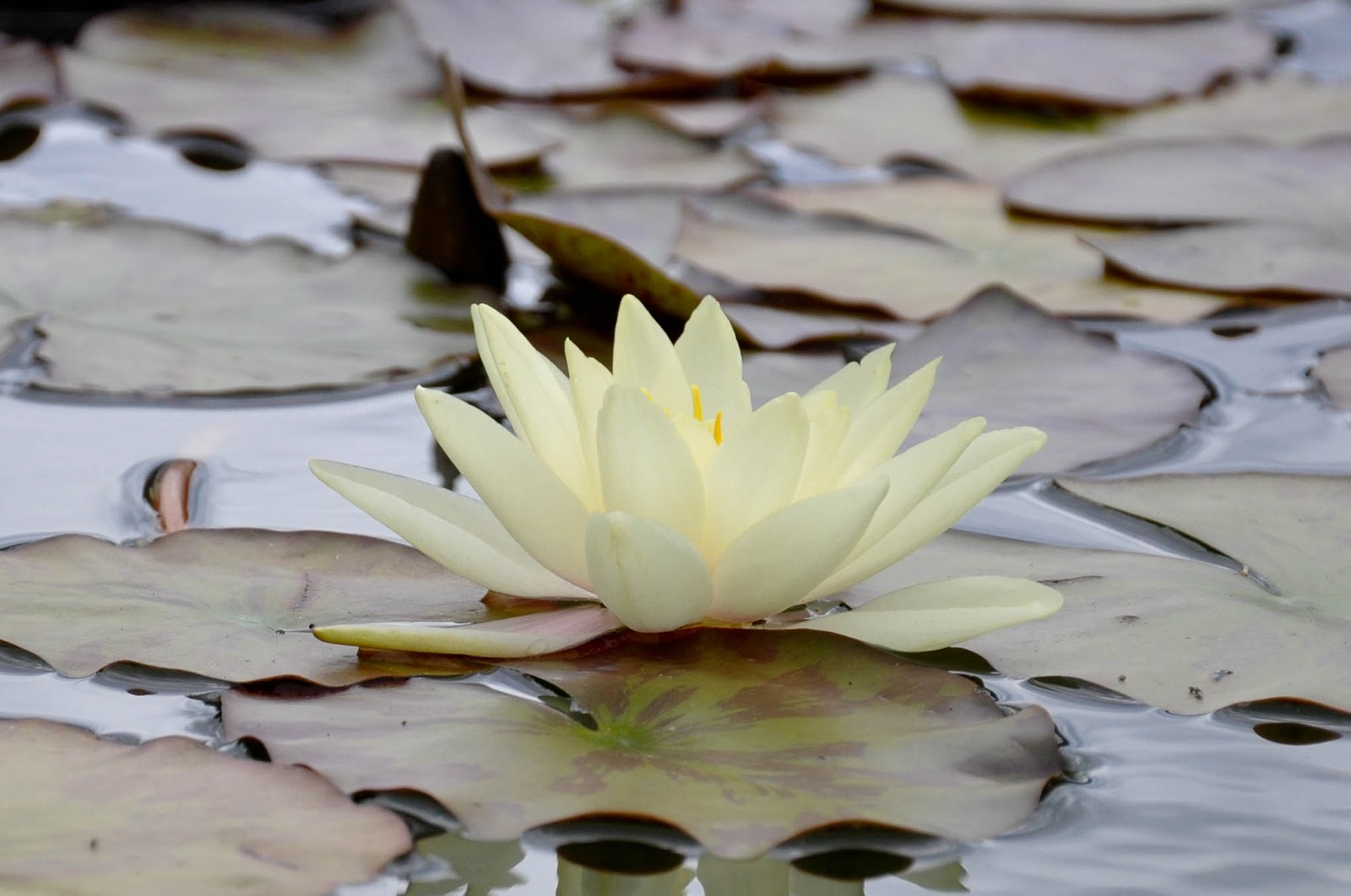 Waterlilly, Monkey Haven, Isle of Wight, UK