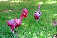 هل أنت على أستعداد لرؤية دجاج بدون ريش ! تعرف عليه في هذا الموضوع