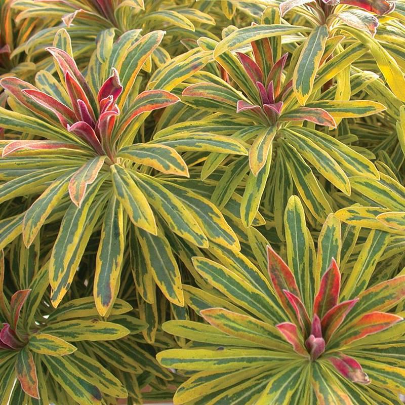 cultivar de euforbia herbacea, híbrido entre Euphorbia characias y E. amygdaloides con hojas variegadas