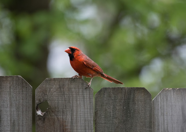 Photo of cardinal bird by Nathan Anderson on Unsplash