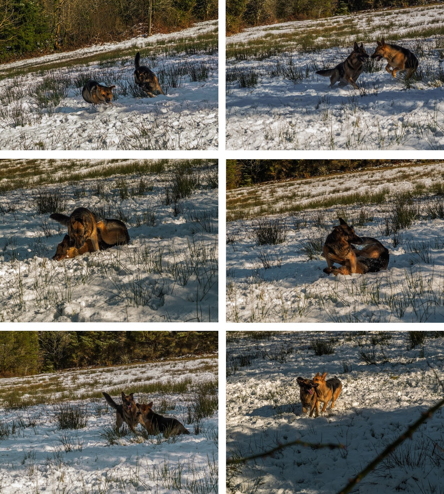 Two German Shepherds playing in the snow.