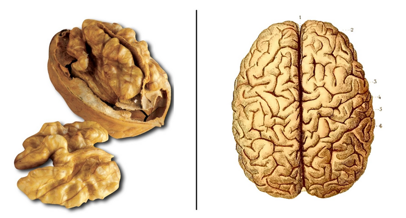 Nuts and brain