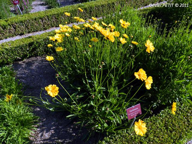 NANCY (54) - Le jardin botanique Dominique-Alexandre Godron - Coréopsis