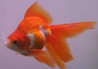 "Jenis Ikan koki Fantail "" Ekor Kipas "" kuning putih"