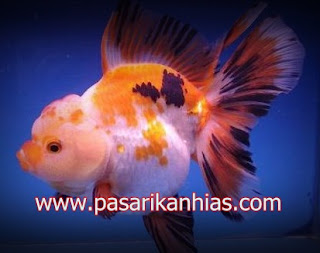 Ikan hias Mas Koki Shubunkin