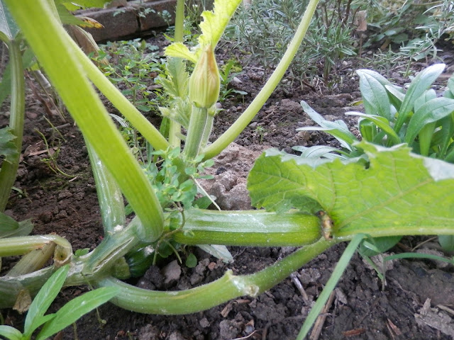 Courgette.  My Garden, October 2015, Autumn Gardening.  secondhandsusie.blogspot.co.uk