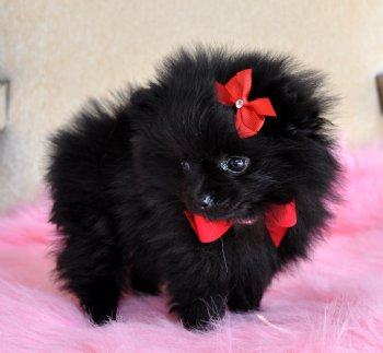Cute Puppy Dogs Cute black pomeranian puppies