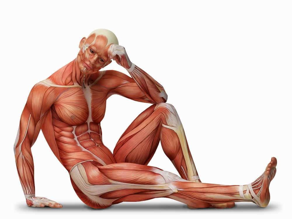 Fakta Ilmiah tentang Otot Manusia