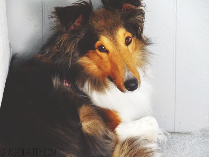 Kiara our shetland sheepdog in an anxiety fit. Curled up in the corner hiding from noise.
