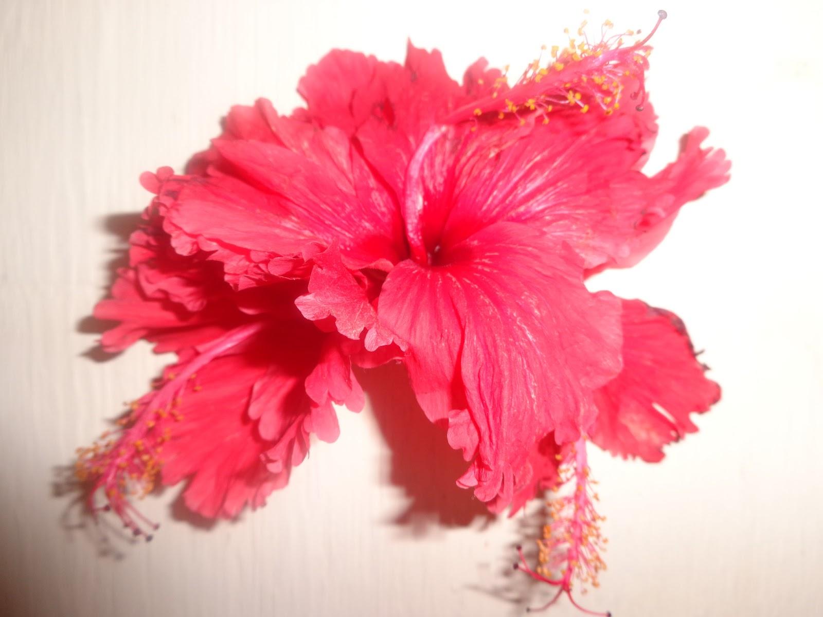 Make Your Own Hibiscus Hair Growth Oil Natural Hair Health Beauty