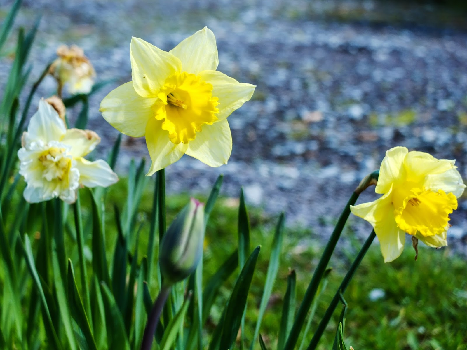 Light yellow and white daffodils pictured in sunlight.