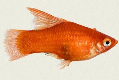 Gambar Ikan Platy Red Ballon Hifin