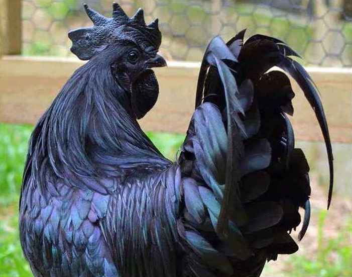 Ciri Ciri Umum Ayam Cemani Asli Berkwalitas