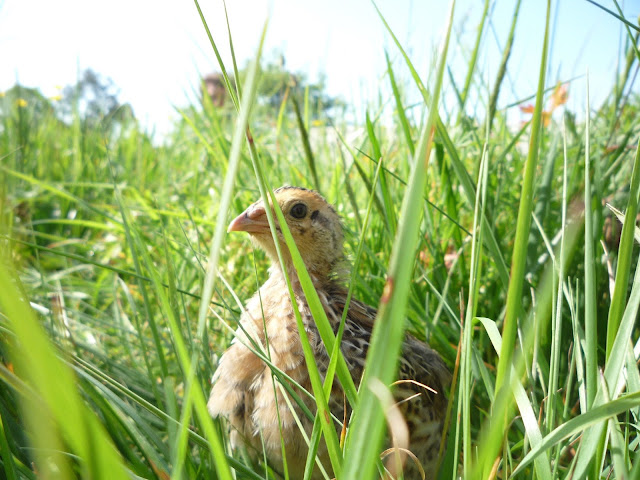 Free-ranging organic quail