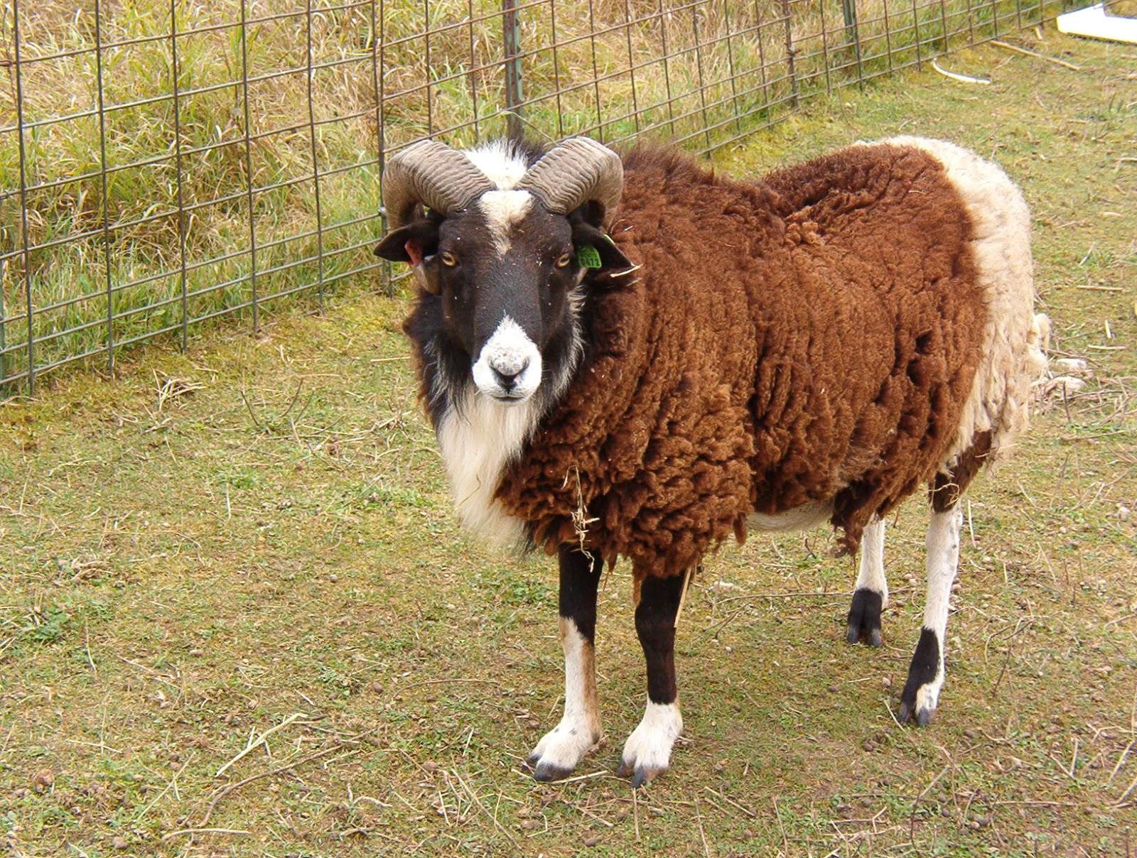 Insel Lyr Farm: Doc, a Katahdin/Shetland cross ram
