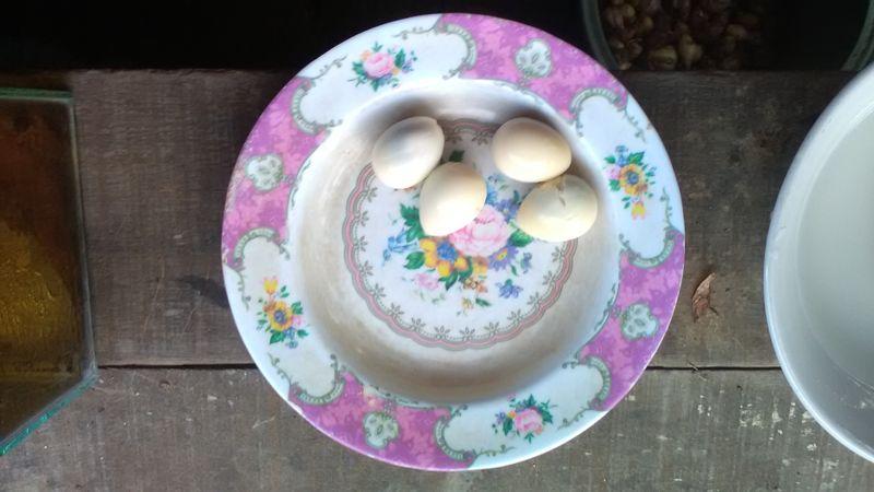 Gambar cara memberi makan burayak dengan kuning telur