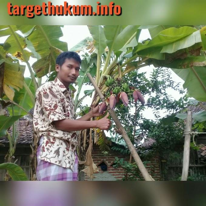 Pohon Pisang Berbuah Empat Yang Ramai Dikunjungi Oleh Warga