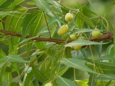 daun intaran, herbal, manfaat daun mimba, Manfaat Tanaman Herbal, mimba, minyak mimba, minyak neem, neem, nimba,
