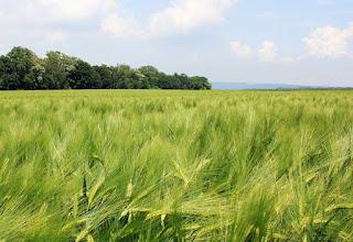 ¿Cómo reconocer los campos de cereales? (Desde lejos): Cebada