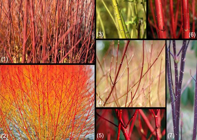 ramuri colorare, culori ramuri, plante iarna, gradina decor iarna, idei amenjare gradina, peisagisti, firma plante ornamentale, horticultor gradina, specii, cornus
