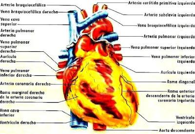 Dibujo del corazón indicando sus partes a colores