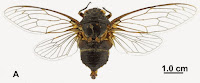 http://sciencythoughts.blogspot.co.uk/2014/03/a-new-species-of-cicada-from-sichuan.html