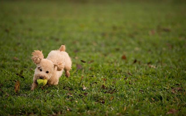 Spelende hond met bal op het gras