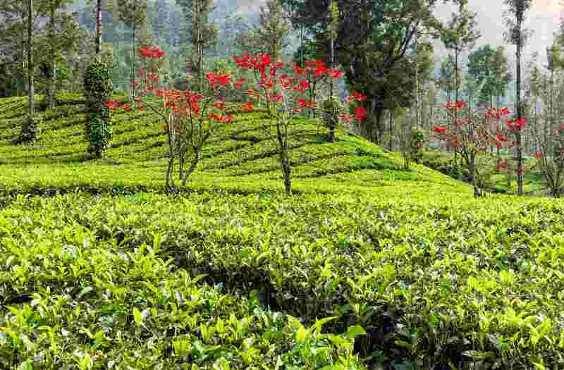 Tea, Spice, Coffee Plantations And Factory Visits