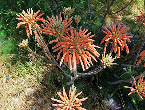 Pita real (Aloe saponaria) flor naranja
