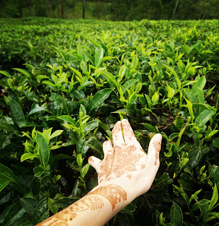 Touching the tea leaves in a tea plantation is Munnar, Kerala