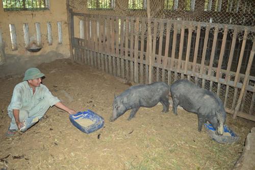 Những cá thể heo Kiềng Sắt thuần chủng được bảo tồn tại Quảng Ngãi