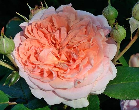 Chippendale сорт розы фото купить саженцы Минск питомник Кузнецов