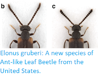 https://sciencythoughts.blogspot.com/2017/12/elonus-gruberi-new-species-of-ant-like.html