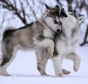 see more husky puppies are going http://cutepuppyanddog.blogspot.com/
