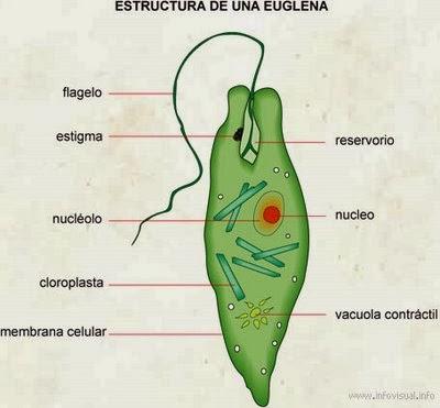 Resultado de imagen para protozoarios y protofitos