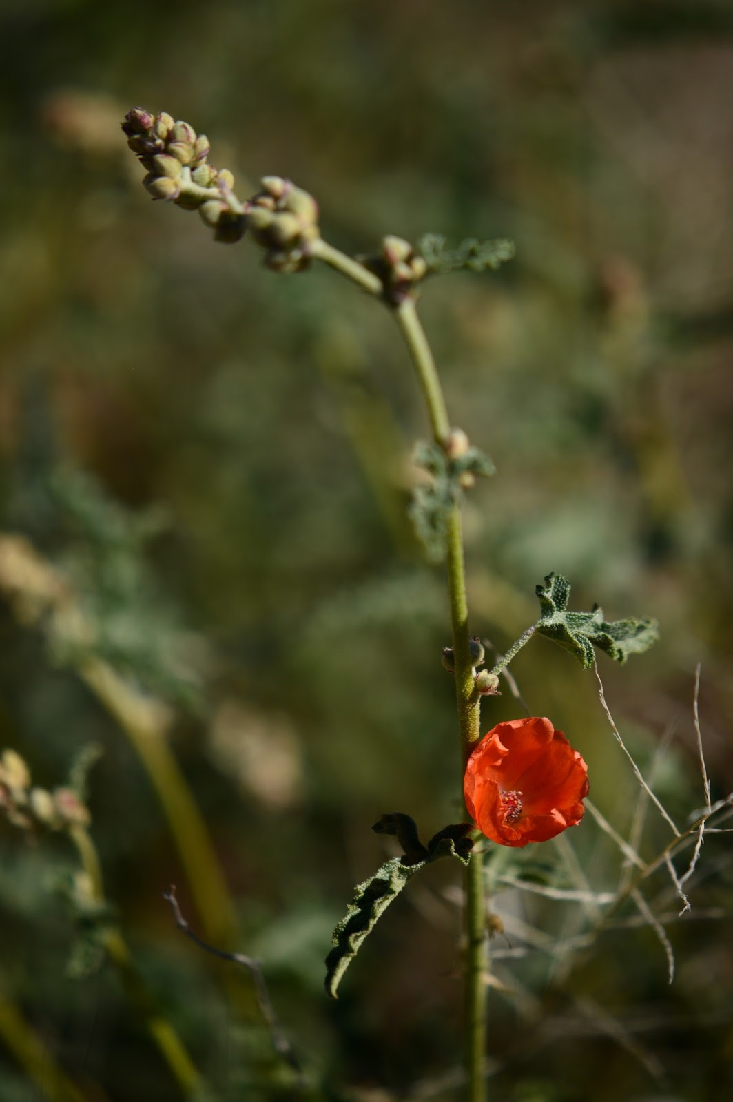 Sphaeralcea ambigua, globemallow, photography, amy myers