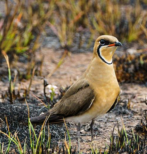 Indian birds - Image of Oriental pratincole - Glareola maldivarum