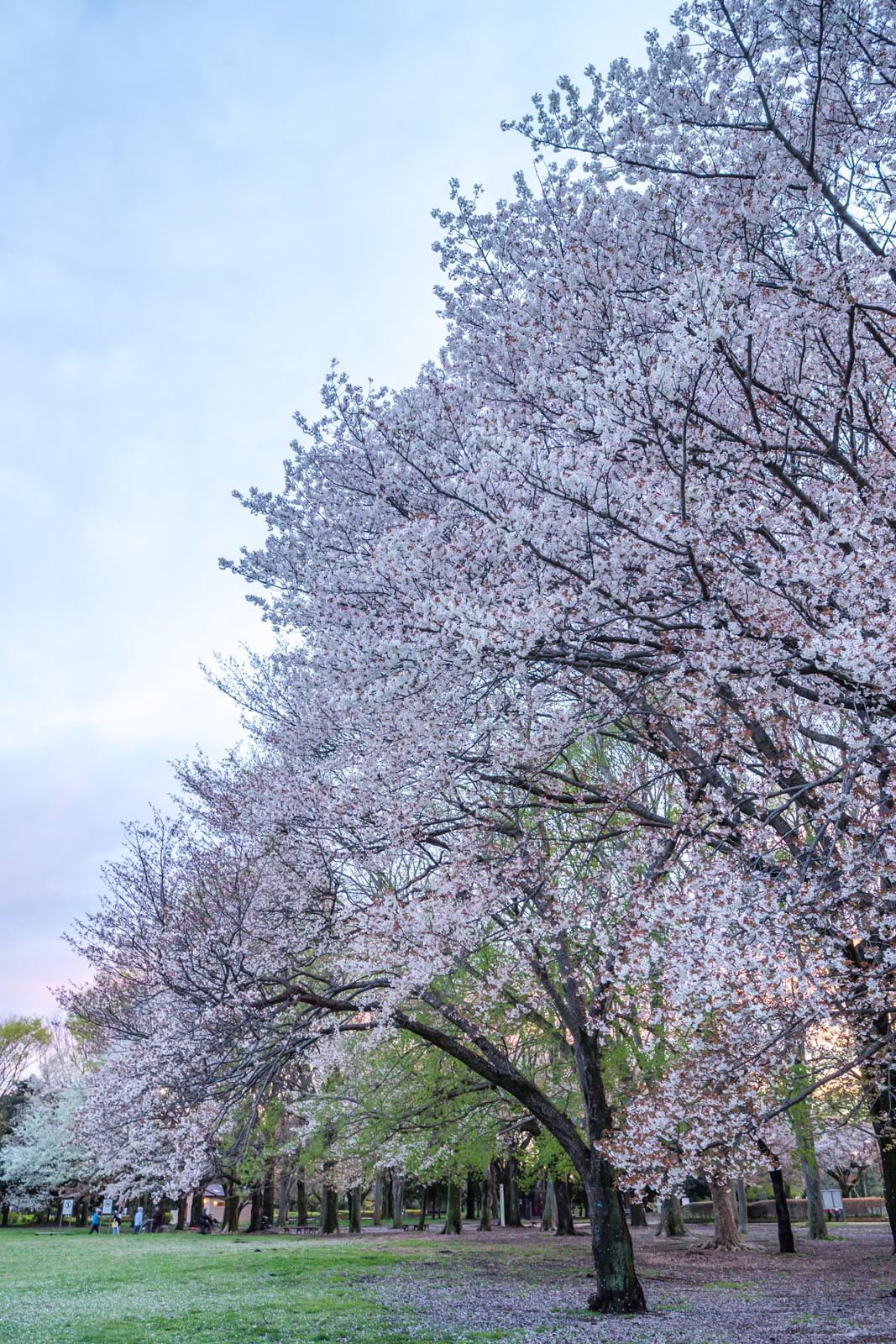 小金井公園の桜の写真