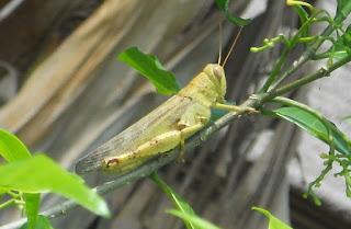 Serangga (Insekta)