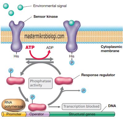 transduksi sinyal bakteri