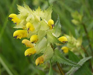 Flores amarillas de la cresta de gallo (Rhinanthus serotinus)
