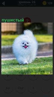 На газоне стоит пушистый щенок собаки белого цвета, похоже породы шпиц