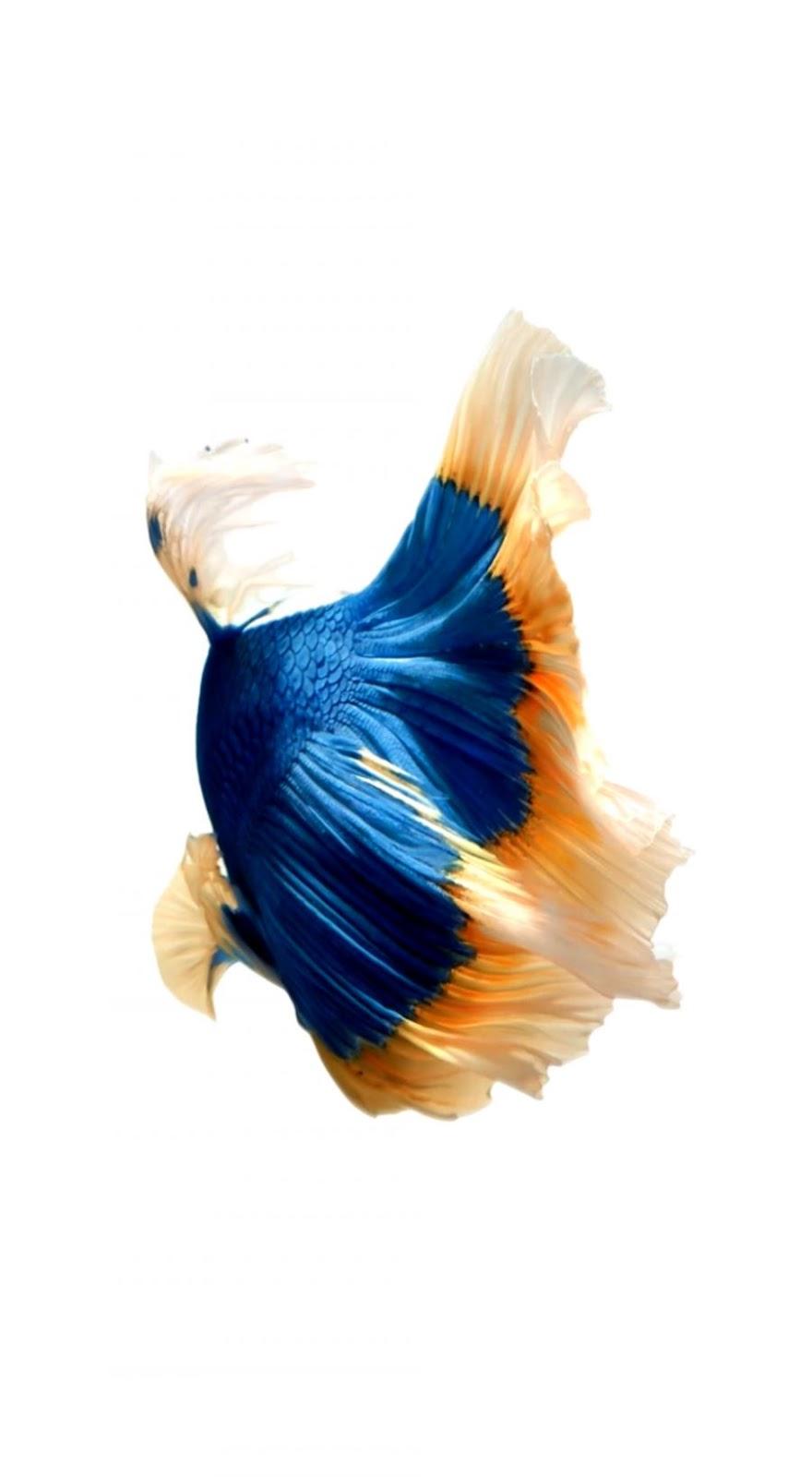 Koi Fish Iphone X Wallpaper   The Bryans Koi Fish