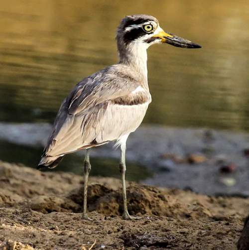 Indian birds - Image of Great thick-knee - Esacus recurvirostris