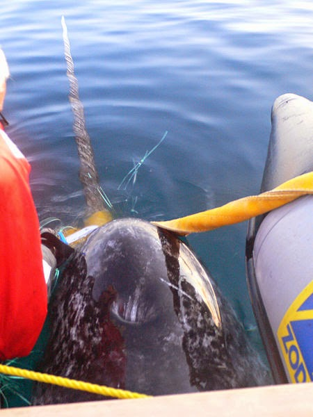 A male narwhal is captured and satellite tagged
